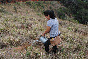 Em 2014 a Prefeitura de Caratinga continuou o plantio de árvores nativas da Mata Atlântica no entorno da Pedra Itaúna (foto: Arquivo)