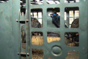 Pássaros estavam sendo transportados de maneira irregular