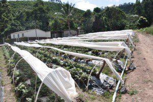 Túnel protege os frutos contra o excesso de chuva e da seca