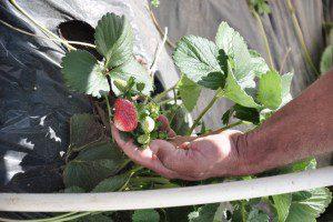 Irmãos se destacam em Santa Luzia com o cultivo de morangos