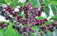 Colheita de café impulsiona geração de empregos em Caratinga durante o mês de maio